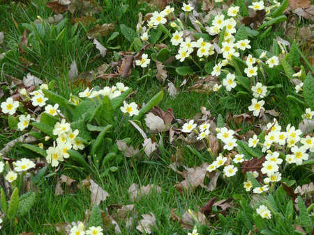 deciduous woodland: wild primroses (primula) in a deciduous woodland area with fallen autumn leaves and long untended grass Stock Photo