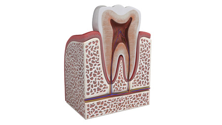3D illustration of a tooth anatomy