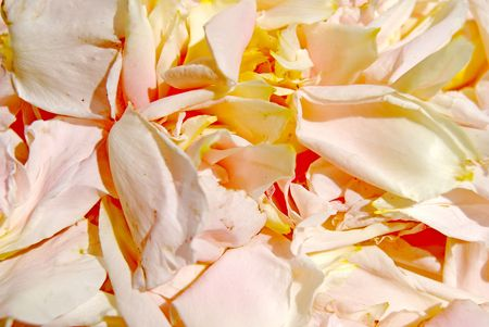 gentile: gentile rose petal lies much liberally background