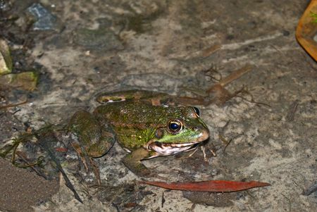 waits: frog sits in water and waits mining Stock Photo