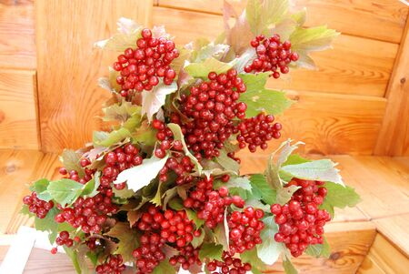 guelder: red guelder by autumn on branch with sheet