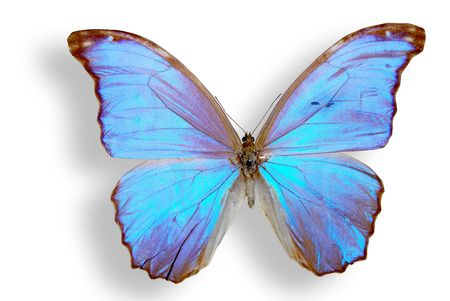 blue brilliant butterfly with wing  Stock Photo