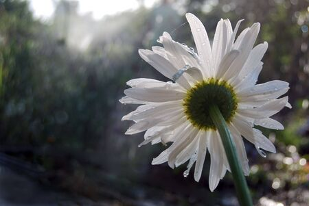 daisywheel: blanching daisywheel with drop of water