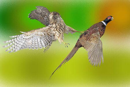 varicoloured: falcon has caughted mining on varicoloured background Stock Photo