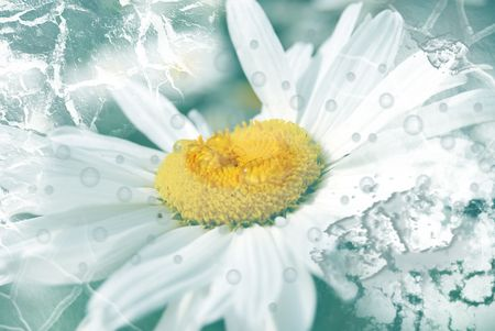 daisywheel: blanching daisywheel with drops of water