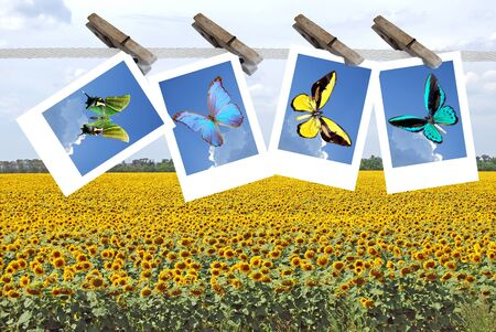 big field of the flowering sunflower with butterfly