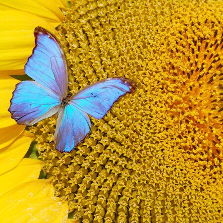 young flower of the sunflower with butterflies