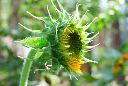 flower of the young sunflower early in the morning Reklamní fotografie