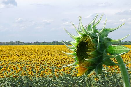 big field of the flowering sunflower by summer