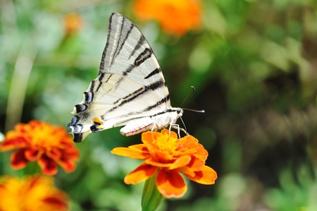 exemplar:  butterfly podalirius on red flower Stock Photo