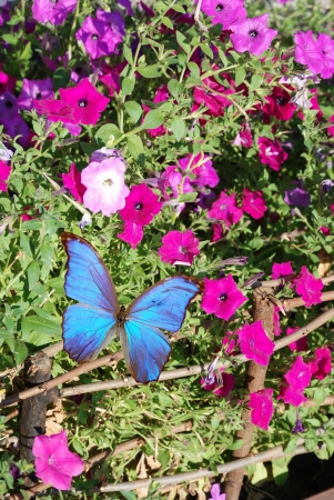 blue butterfly on pink flowers