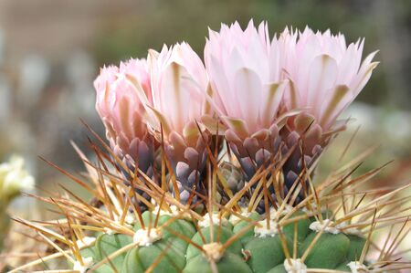 much pink flowers cactus closeup