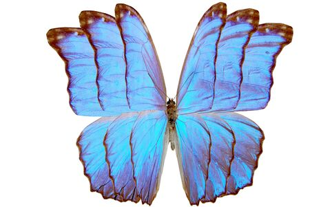 blue brilliant butterfly with wing close-up cutout