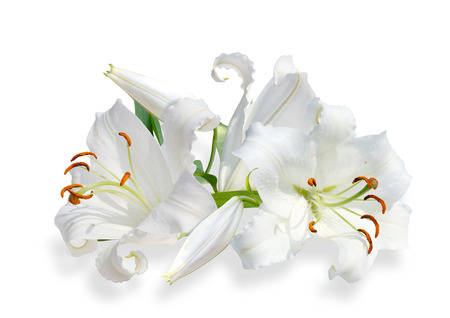 white lily with bud on white background Stock Photo - 76995039