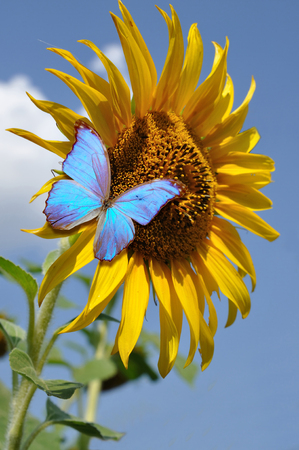 yellow sunflower and blue butterfly on sky background