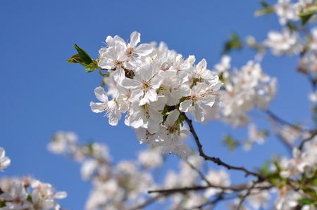 white flowers to cherries on background sky Stock Photo