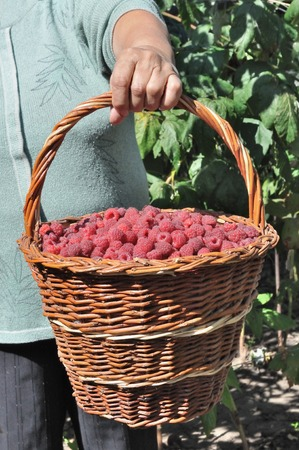 basket of the ripe raspberry in hand of the old women Stock Photo - 75727250