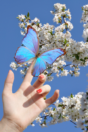 blue butterfly on hand on cherry background
