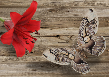 butterfly and red lily on grey wood background Reklamní fotografie - 107375267