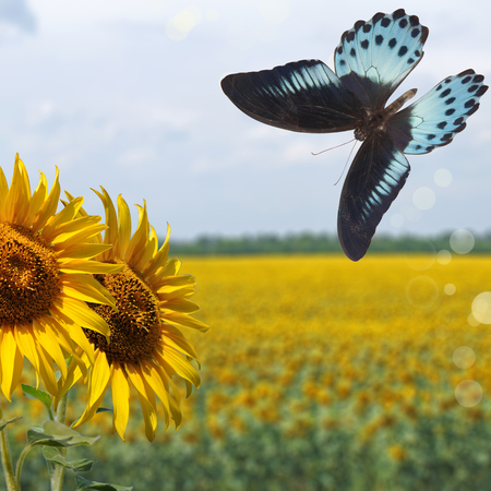 sunflowers on background of the field sunflowers and blue butterfly