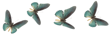 four blue butterflies on a white background flying Stock Photo
