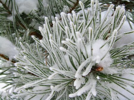 close-up of snowy branch of spruce, winter photo