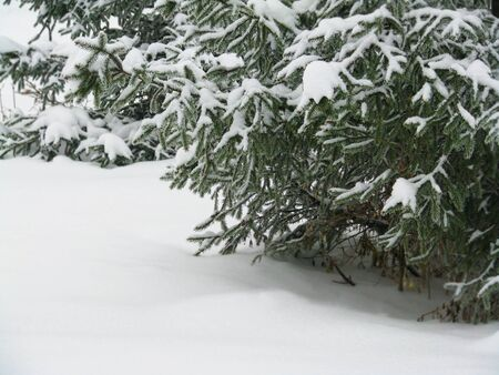 part of snowy spruce tree, winter background photo