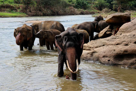 tusks: elephant with large tusks standing at the river