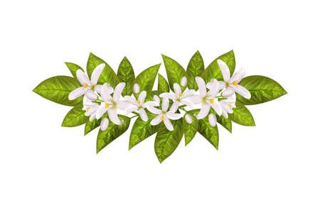 Realistic orange flowering branch, leaves, neroli flowers and bud. Perfumery and medical plant.