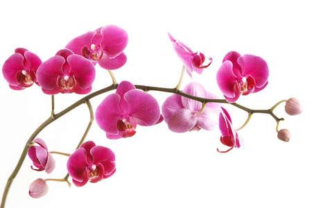 De tak van orchideeën op een witte achtergrond
