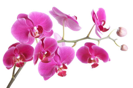 The branch of orchids on a white background photo