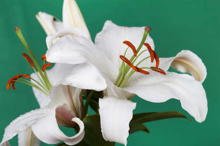 Large white lily on a green background Stock Photo - 13428961