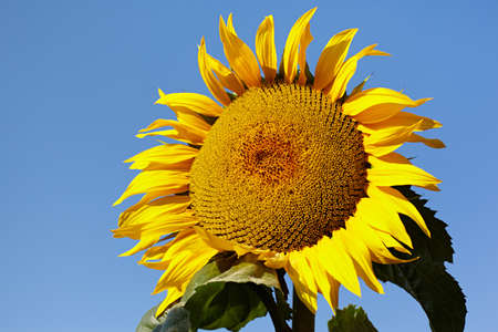 Ripe sunflower on background the clear blue sky photo