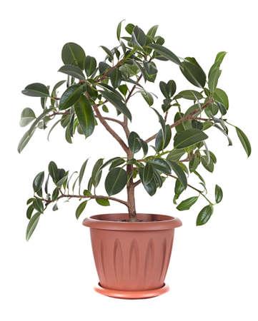 caoutchouc: Ficus elastica variety  Melany