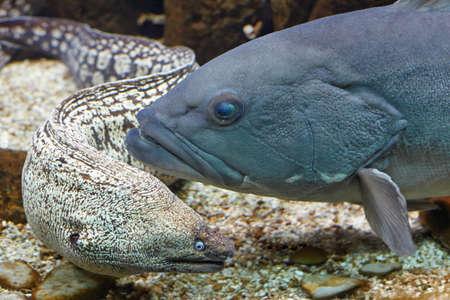 reconstituted: Greece Gournes. Murena and grouper in an aquarium in Crete