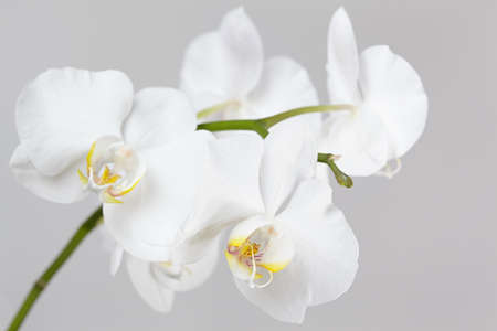 orchid branch: The branch of white orchid