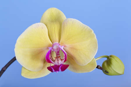 Flower of a yellow orchid on a blue background Stock Photo