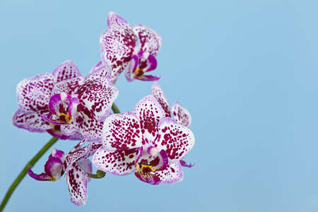 The branch of a motley orchid on a blue background