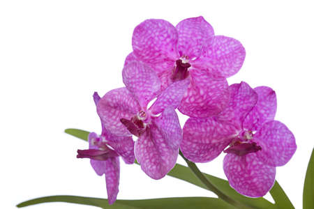 The branch of purple orchid