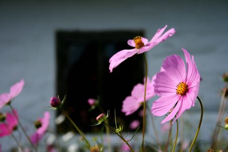 ethnographical: Flower in antique, open air museum