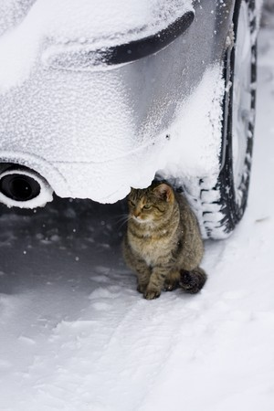 Cat in the winter environment, hiden under the car