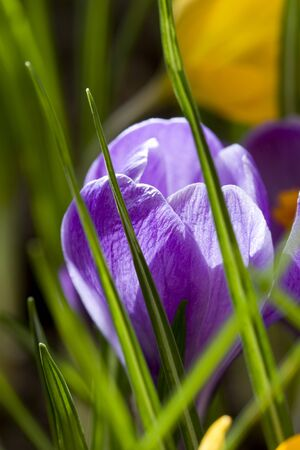 Spring flowers, yellow and violet crocus photo