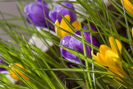 Spring flowers, yellow and violet crocus