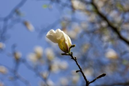 Magnolia tree in blossom with blue sky in the background  Stock Photo