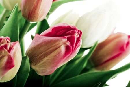 beautiful red and white tulips in vase  photo