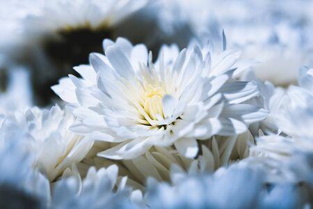 Studio shoot of daisy close up photo