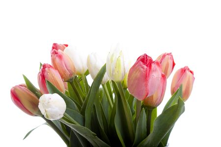 beautiful red and white tulips in vase