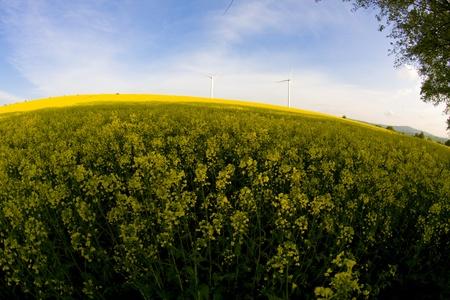 meadowland: Windmill over rapeweed field in bloom fish eye look