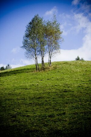Group of birch-trees on a meadow with blue sky