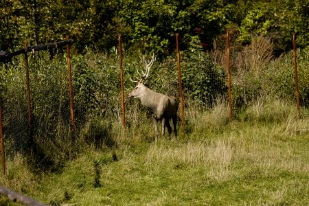 Wild deer catched in a outdoor cage Stock Photo